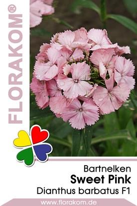 Bartnelken Sweet Pink