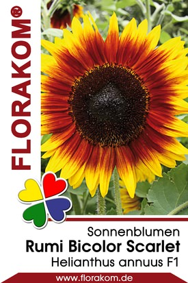 Sonnenblumen Rumi Bicolor Scarlet