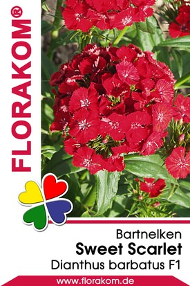 Bartnelken Sweet Scarlet