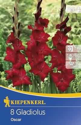 Holländische Großblumige Gladiolen Oskar