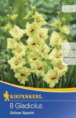 Holländische Großblumige Gladiolen Grüner Specht