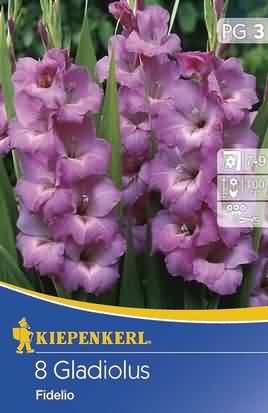 Holländische Großblumige Gladiolen Fidelio