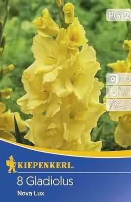 Holländische Großblumige Gladiolen Nova Lux
