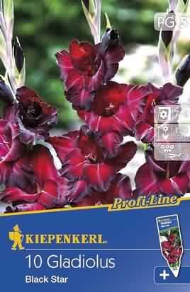 Holländische Großblumige Gladiolen Black Star