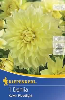 Riesenblütige Dekorative Dahlien Kelvin Floodlight