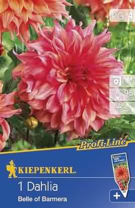 Riesenblütige Dekorative Dahlien Belle of Barmera