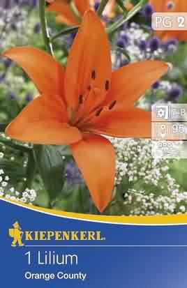 Asiatische Lilien Orange County