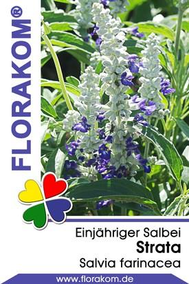 Salvien Strata - Salvia Samen