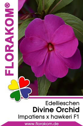 Edellieschen Divine Orchid - Neu Guinea Samen