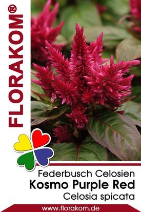 Federbusch Kosmo Purple Red - Celosien Samen