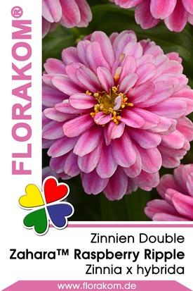 Zinnien Zahara™ Double Raspberry Ripple Samen