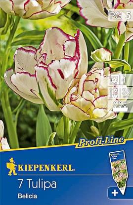 Mehrblütige Tulpen Belicia