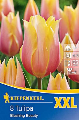 Tulpen Blushing Beauty XXL