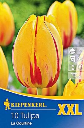 Einfache Späte Tulpen La Courtine XXL