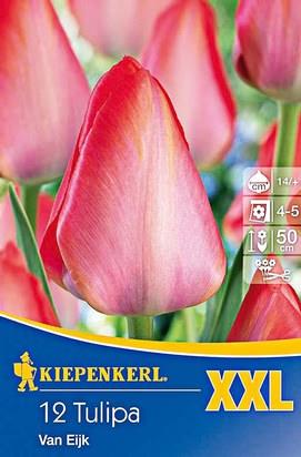 Darwin Tulpen Van Eijk XXL
