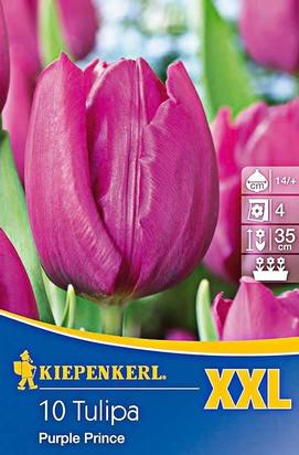 Frühe Tulpen Purple Prince XXL