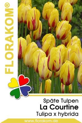 Einfache Späte Tulpen La Courtine