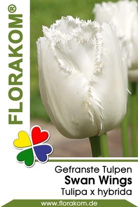Gefranste Tulpen Swan Wings