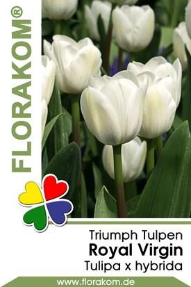 Triumph Tulpen Royal Virgin