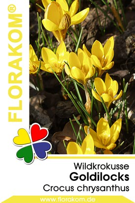 Wildkrokusse Goldilocks