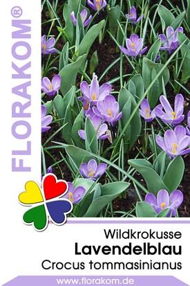 Wildkrokusse Lavendelblau