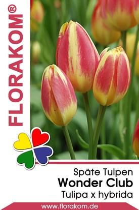 Mehrblütige Tulpen Wonder Club