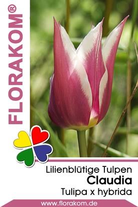 Lilienblütige Tulpen Claudia Zwiebeln