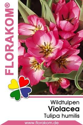 Wildtulpen Violacea