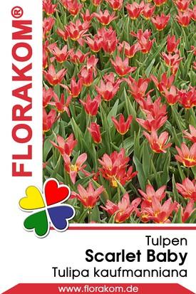 Kaufmanniana Tulpen Scarlet Baby