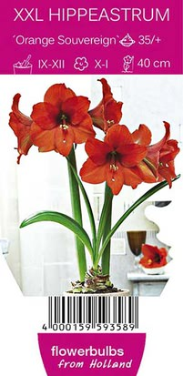 Amaryllis Orange Souvereign - Ritterstern XXL