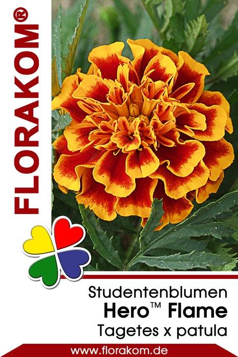 studentenblumensamen hero flame tagetes florakom. Black Bedroom Furniture Sets. Home Design Ideas