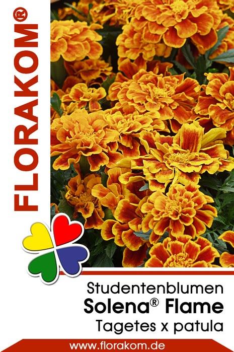 studentenblumen tagetes solena flame florakom. Black Bedroom Furniture Sets. Home Design Ideas