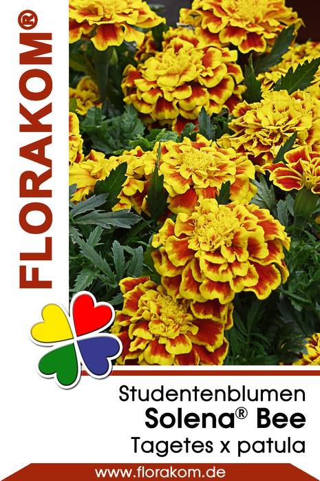 studentenblumen tagetes solena bee florakom. Black Bedroom Furniture Sets. Home Design Ideas