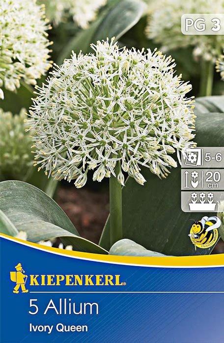 5 zierlauchzwiebeln ivory queen florakom. Black Bedroom Furniture Sets. Home Design Ideas