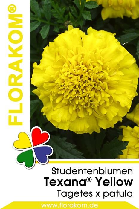 studentenblumen tagetes texana yellow florakom. Black Bedroom Furniture Sets. Home Design Ideas