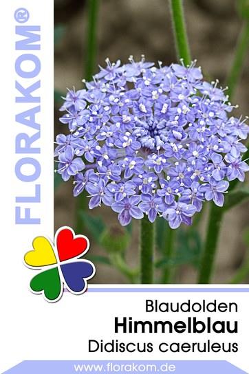 Blaudolden Himmelblau