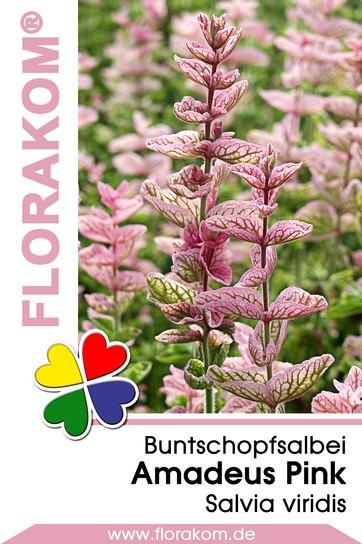 Buntschopfsalbei Amadeus Pink