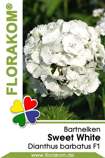 Bartnelken Sweet White