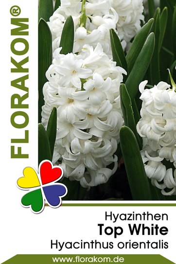 Hyazinthen Top White