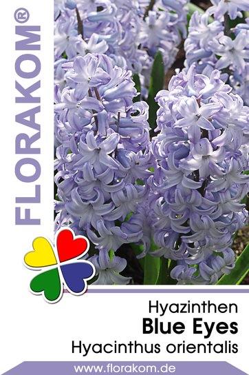 Hyazinthen Blue Eyes
