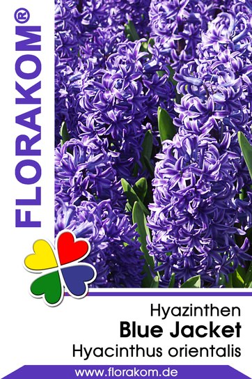 Hyazinthen Blue Jacket