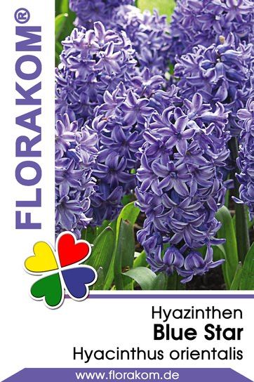 Hyazinthen Blue Star