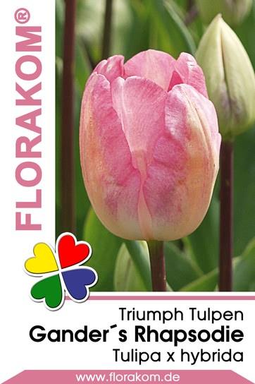 Triumph Tulpen Ganders Rhapsodie