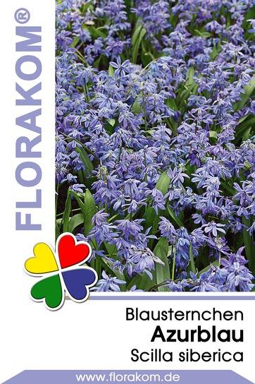 Blausternchenzwiebeln Azurblau - Scilla