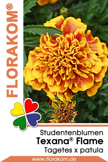 studentenblumen tagetes texana flame florakom. Black Bedroom Furniture Sets. Home Design Ideas