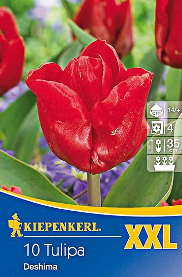 Triumph Tulpen Deshima XXL