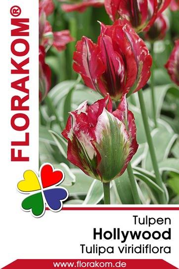 Viridiflora Tulpen Hollywood