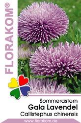 Sommerastern Gala Lavendel