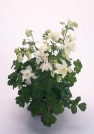 <hr>Akelei Spring Magic® Weiß <hr>Samen<hr>