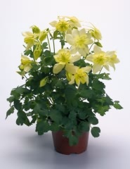 <hr>Akelei Spring Magic® Gelb <hr>Samen<hr>